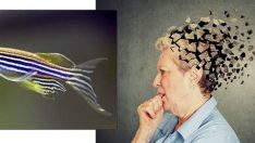 Alzheimer'ın çaresi zebra balığında olabilir!
